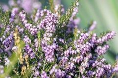 Erica lasu carnea ochraniający kwiat w kwiacie, małych kwiatach i liściach na małym krzaku, zdjęcia royalty free
