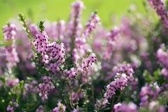 Erica lasu carnea ochraniający kwiat w kwiacie, małych kwiatach i liściach na małym krzaku, zdjęcie stock