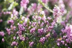 Erica lasu carnea ochraniający kwiat w kwiacie, małych kwiatach i liściach na małym krzaku, fotografia royalty free