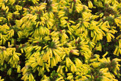 Erica Nana bonita no jardim botânico nacional de Kirstenbosch foto de stock