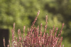 Erica red flowers. Stock photo Royalty Free Stock Image