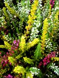 Erica sativa kwiaty w okwitnięcia tle i tapety w odgórnych wysokiej jakości drukach obrazy stock