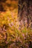 Erica sbocciante selvatica Un mazzo di ` s dell'erica porpora fiorisce nella foresta Immagini Stock Libere da Diritti