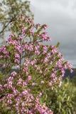 Erica som är australis i naturliga Ria Formosa, parkerar Algarve Fotografering för Bildbyråer