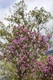 Erica som är australis i naturliga Ria Formosa, parkerar Algarve Royaltyfria Foton