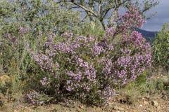 Erica som är australis i naturliga Ria Formosa, parkerar Algarve Arkivfoton
