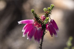 Erica versicolor Royalty Free Stock Photography