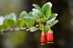 ERICACEAE (Agapetes parishii C B Clarke) Zdjęcia Stock