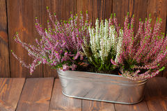 Eriche in un vaso da fiori del metallo Immagini Stock Libere da Diritti