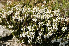 Ericoides del Cassiope fotografia stock libera da diritti