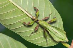 Ericoriai adulte masculin de Phyllium d'insecte de feuille image stock