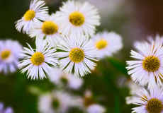 Erigeron Alpinus Royalty Free Stock Image