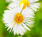 Erigeron Alpinus Royalty Free Stock Photos