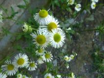 Erigeron annuus, Annual fleabane, Daisy fleabane Stock Photos