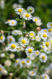 Erigeron annuus Stock Photos