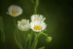 Erigeron annuus. Flower in a high meadow and shaow royalty free stock image