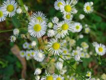 Erigeron annuus. Pretty white flowers in a field Stock Image
