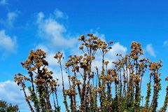 Erigeron canadensis under blue sky. Erigeron canadensis synonym Conyza canadensis is an annual plant native throughout most of North America and Central America Royalty Free Stock Photos