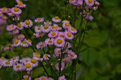 Erigeron daisy wild flower - white and pink - space for text. On right Stock Photography