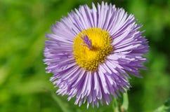 Erigeron flower closeup Royalty Free Stock Photography