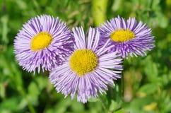 Erigeron flowers closeup Royalty Free Stock Images