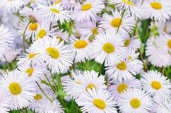 Erigeron flowers Stock Image