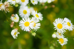 Erigeron flowers Royalty Free Stock Photo