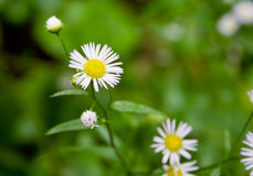Erigeron flowers Stock Photography