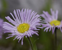 Erigeron glabellus flower. Cultivated, from a garden Royalty Free Stock Photo