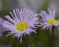 Erigeron glabellus kwiat Zdjęcie Royalty Free