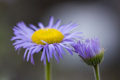 Erigeron glabratus Stock Photos