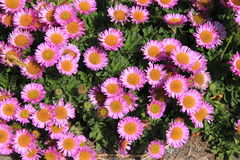 Erigeron Glaucus Royalty Free Stock Photography