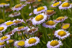 Erigeron glaucus, seaside daisy Stock Images