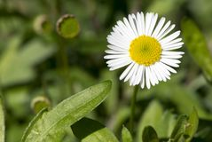 Erigeron Karvinskianus. A single blooming Erigeron Karvinskianus blooming vibrantly against a natural green foliage background. Primary focus on the main flower Royalty Free Stock Images
