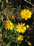 Erigeron Linearis (Desert Yellow Fleabane or Narrow Leaved Fleabane) Plant Blossoming. Stock Photo