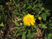 Erigeron Linearis (Desert Yellow Fleabane or Narrow Leaved Fleabane) Plant Blossoming. Royalty Free Stock Photography