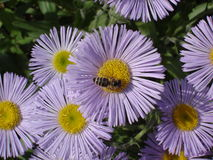 Erigeron (nadmorski stokrotka) purpur i koloru żółtego kwiaty z pszczołą Zdjęcia Royalty Free