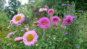 Erigeron Pink flowers Stock Photos