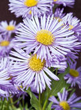 Lavender-blue coloured flowers in bloom royalty free stock photos