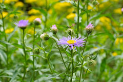 Erigeron pulchellus, variety of daisy family Royalty Free Stock Images