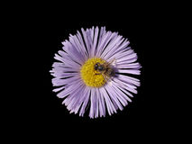 Erigeron purple with yellow center flower isolated on black. Stock Images