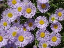 Erigeron (seaside daisy) purple and yellow flowers Royalty Free Stock Photos