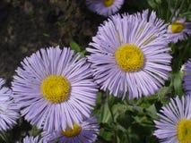 Erigeron (seaside daisy) purple and yellow flowers Stock Photos