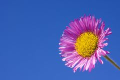 Erigeron Speciosus Charity Stock Photography