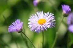 Erigeron speciosus flower Royalty Free Stock Photography