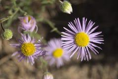 Erigeronpumilus Royaltyfria Bilder