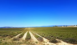 Erika filed. Wide field of Erika under a perfect blue sky Royalty Free Stock Photos