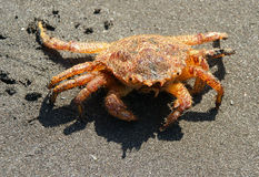 erimacrus isenbeckii kraba obrazy stock