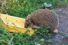 Erinaceus europaeus, western European Hedgehog. Royalty Free Stock Photo