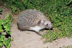 Erinaceus europaeus, western European Hedgehog. Stock Image